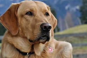 Labrador closeup